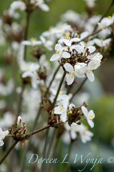 Libertia chilensis_6988.jpg