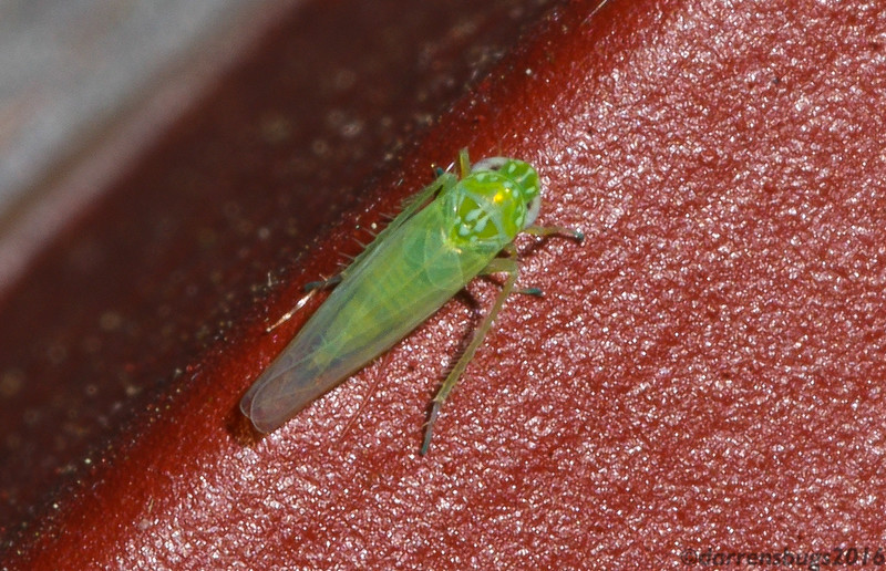 Potato Leafhopper, Empoasca fabae, from Iowa.