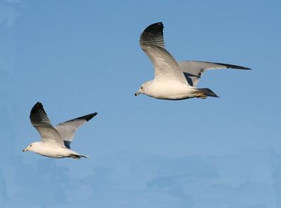 Gulls, geese, ducks, swans, cranes, herons