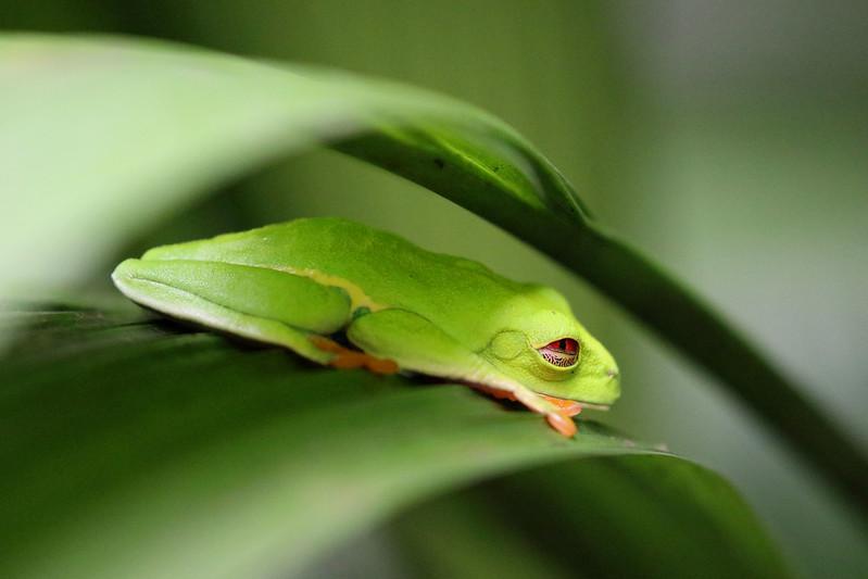 Sleepy Tree Frog.jpg
