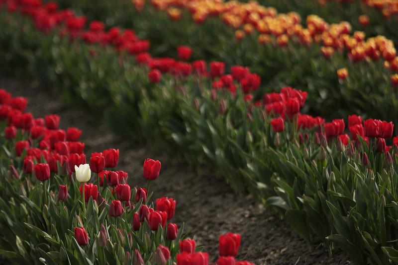 Tulips-2010 22.JPG