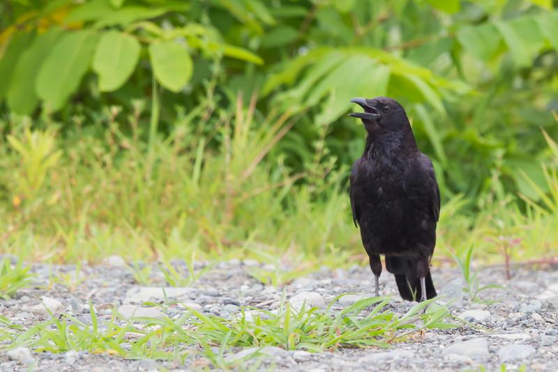 Carrion Crow - Kanagawa Prefecure, Japan