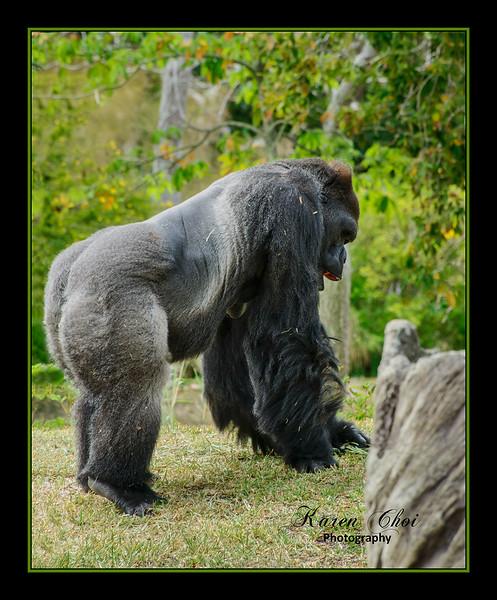 Gorilla walking sm.jpg