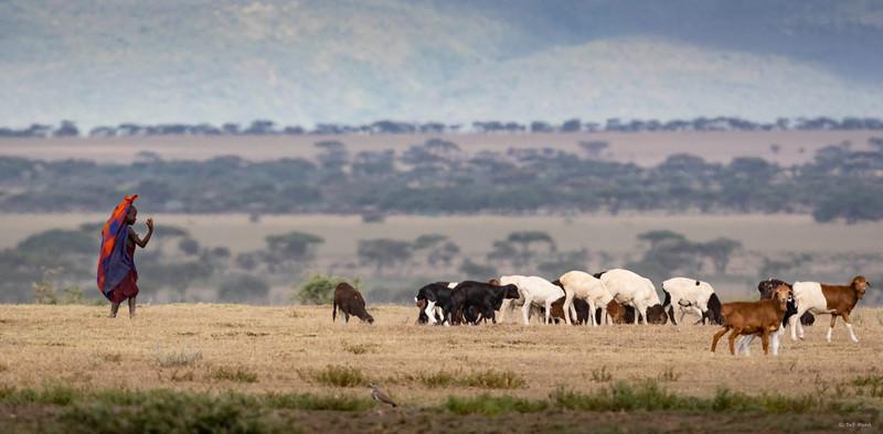 Maasai with goats