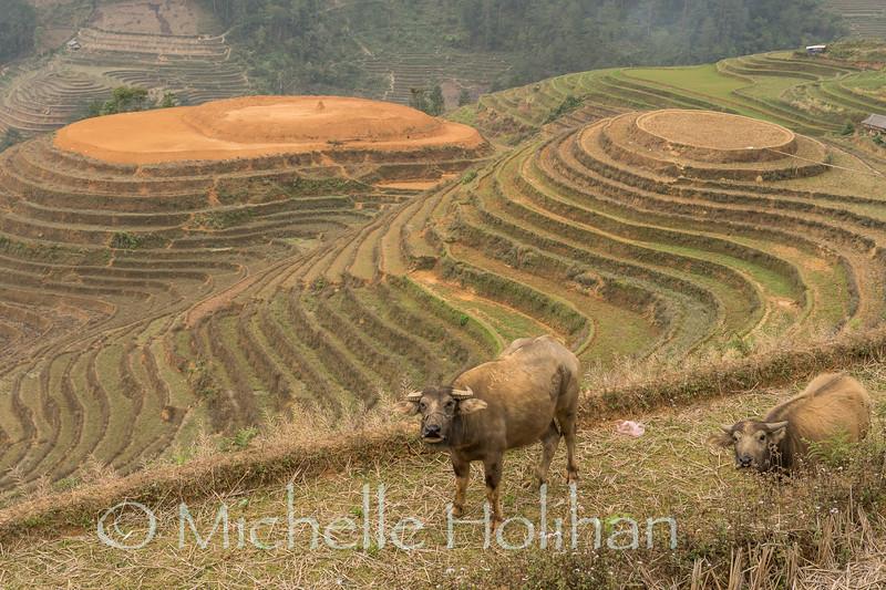 Water buffalo grazing on rice terraces in Mu Cang Chai, Vietnam