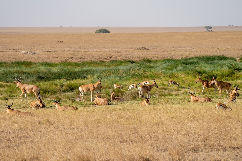 Antelope in Serengeti National Park