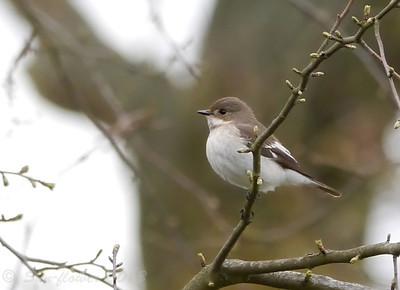 Pied Flycatcher (Buckinghamshire)