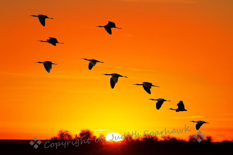 Ibis at Sunrise