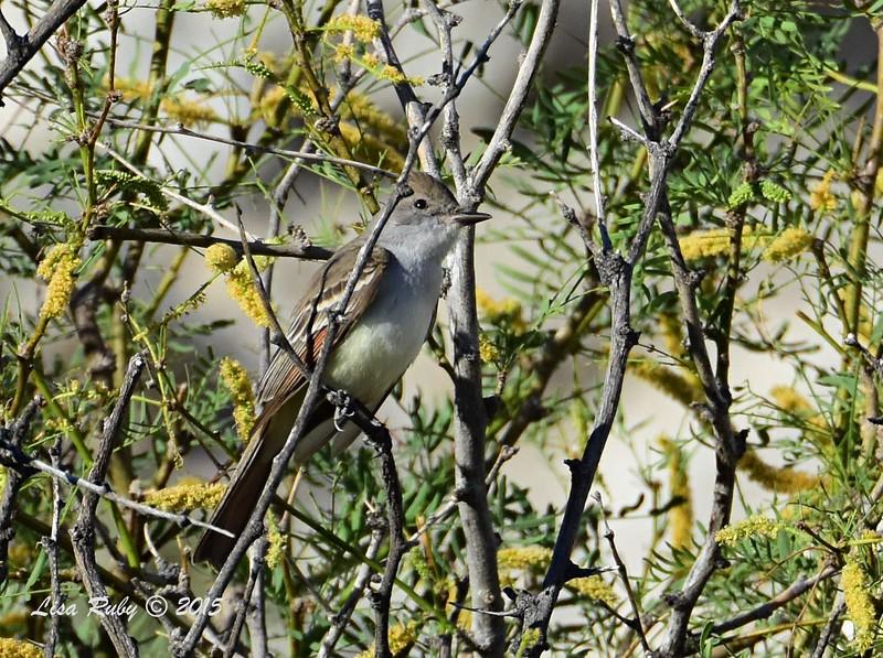Ash-throated Flycatcher - 4/5/2015 - Moonlight Trail, Agua Caliente