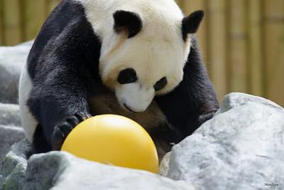 2013 - Toronto Zoo - PANDAmonium