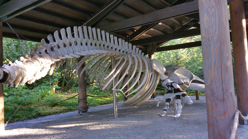 20160718-297 - WEX-Glacier Bay NP-Bartlett Cove-Whale Skeleton.jpg