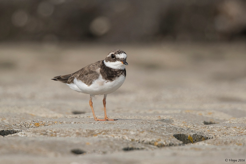Bontbekplevier (Common ringed plover).