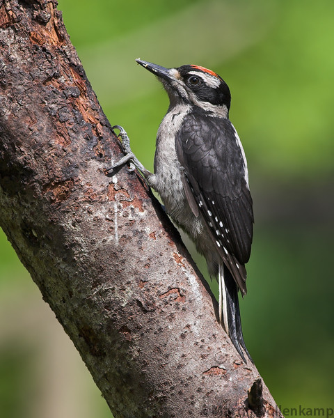 Hairy Woodpecker juvenile, notice the red spot is on  the top of the head and not on the back like the adults.