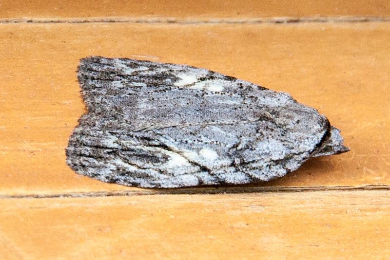 Balsa - White-blotched - (Balsa labecula) - Dunning Lake - Itasca County, MN