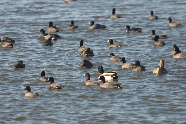 Lakeside ducks etc.