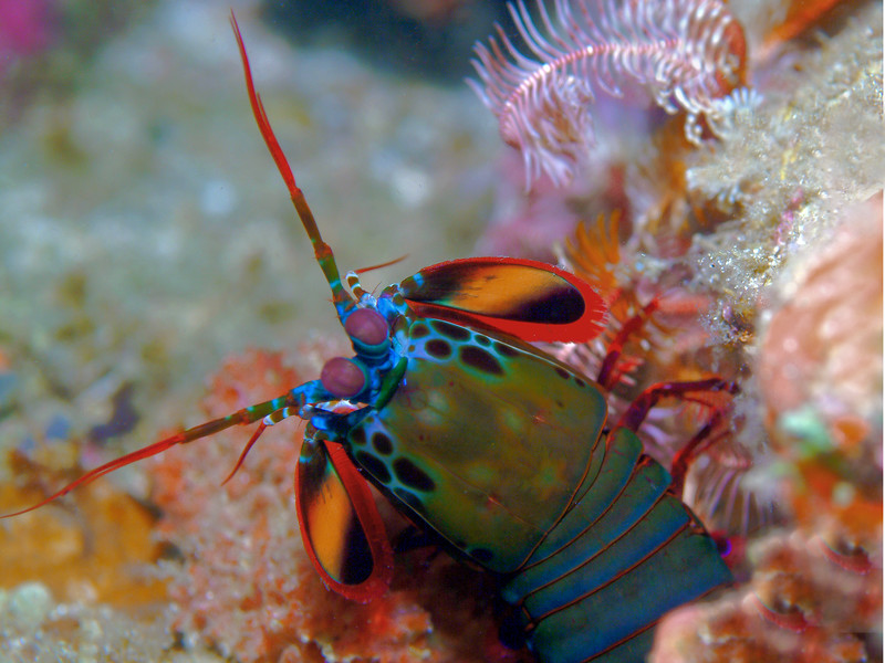 Peacock Mantis Shrimp<br /> Philippines