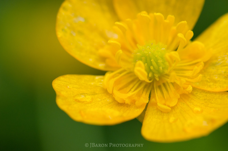 Buttercup Macro with Raindrops