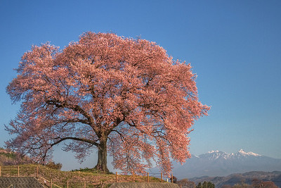 Waniduka no Sakura 2011