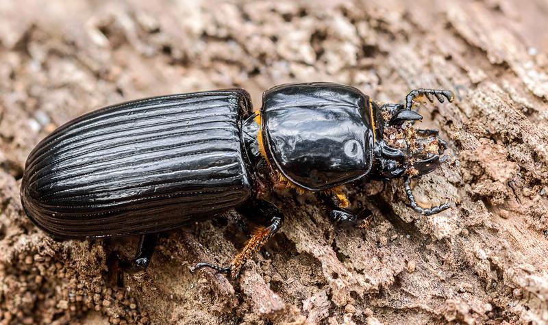 Beetle1 copy.jpg