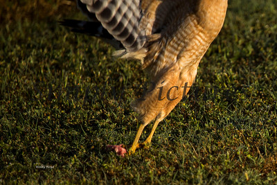 Hawk  010