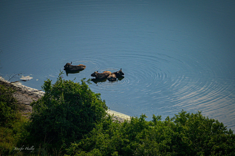 dying buffalo in crater lake.jpg