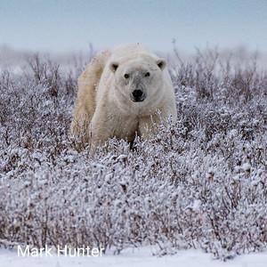 Polar Bears and Northern Manitoba