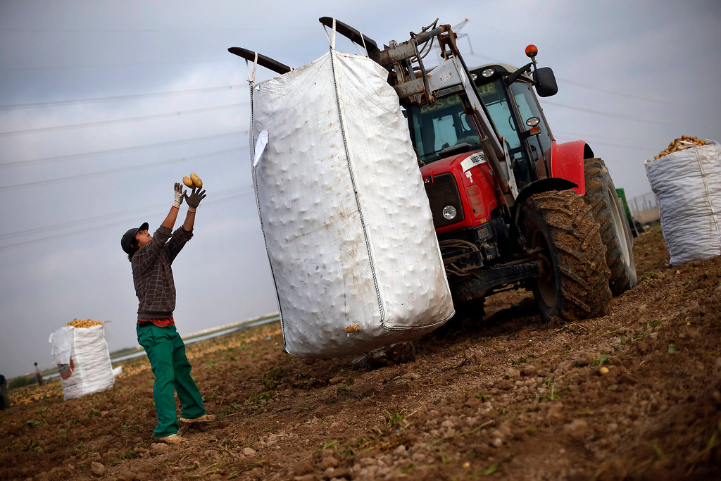 """. Day labourer Jorge Ibanez, 20, throws potatoes into a 1250-kg (2755 lbs) sack as he harvests potatoes in the southern Spanish region of Cartagena, Murcia, June 7, 2013. Ibanez quit school at the age of 16 to help pay the bills at home and did various different jobs before going back to complete his secondary education. Recently, he decided to start working as a day labourer. \""""I know for sure this is not what I want to do for the rest of my life, but this is all I can find now,\"""" he says. The majority of day labourers in the region come from Morocco and Ecuador, and it can be rare to see Spanish labourers in the fields. Nevertheless, as Spain wrestles with economic crisis and youth unemployment levels above 50 percent, some young Spaniards are starting to consider the kinds of jobs mostly performed by immigrants during the boom years.  Picture taken June 7, 2013. REUTERS/Susana Vera"""