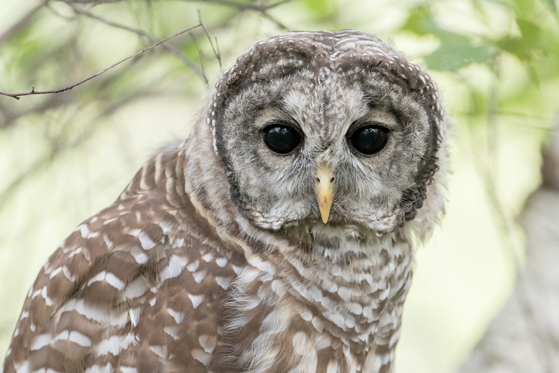 #651 Barred Owl