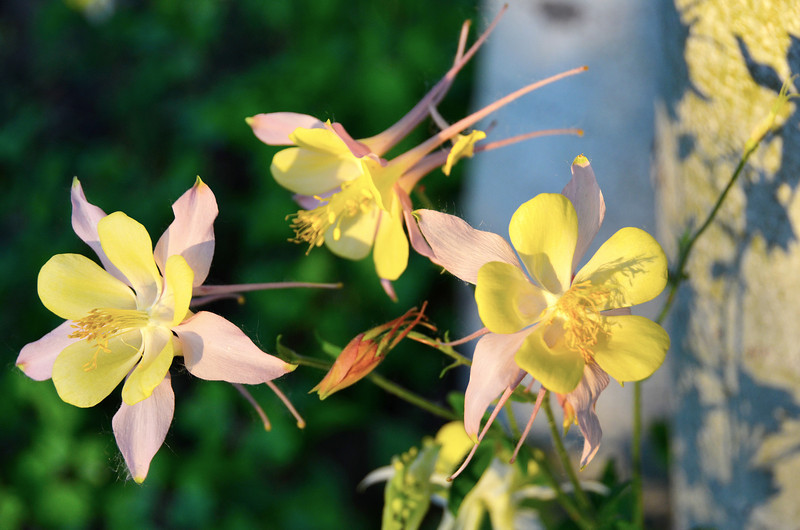 2012-5-12 ––– We have about four different varieties of Columbine that pop up in the front yard. It is one of my favorite flowers.