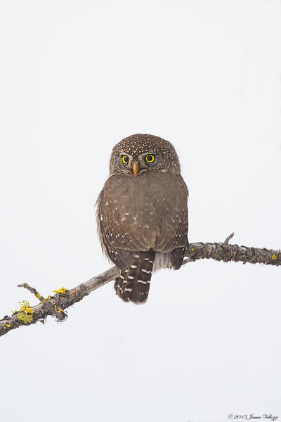 Northern Pygmy-Owl, Glaucidium gnoma