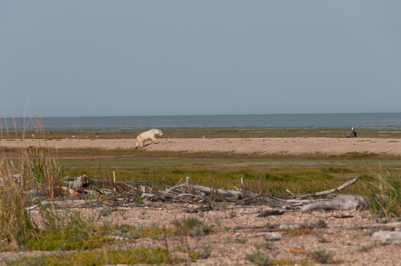 Solitary polar bear near Hudson Bay in Manitoba, Canada