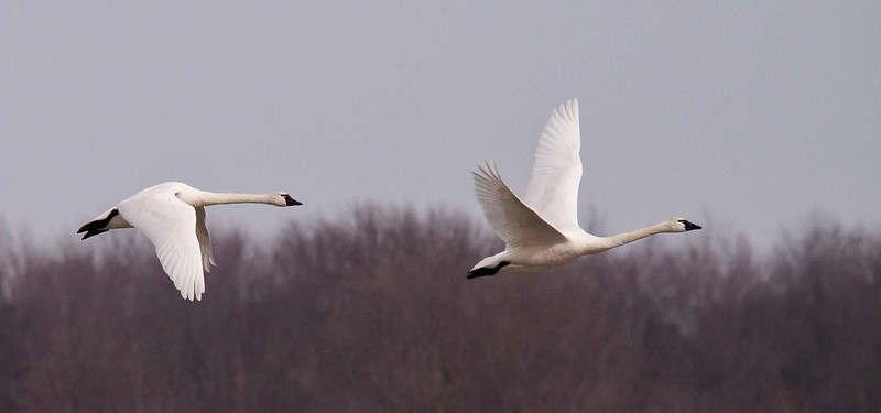 swan aylmer 2011-3.jpg