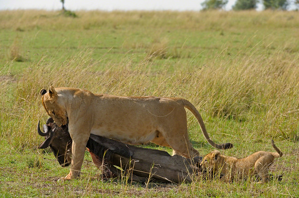 Lioness and cubs with a wildebeets kill