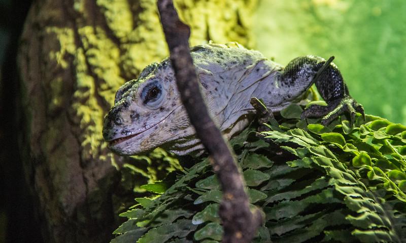 Utila Spiny Tailed Iguana