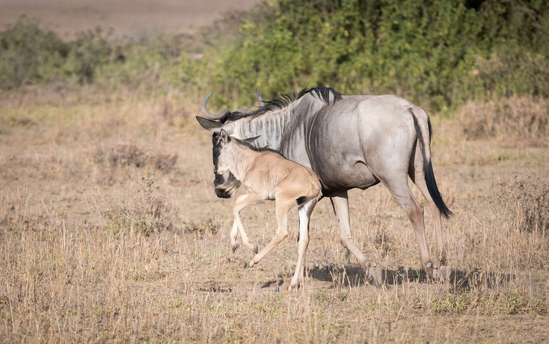 Blue Wildebeest and calf