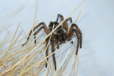 Wolf Spider with her babies  August  2014