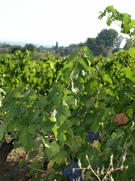 syrah grapes faverot.JPG