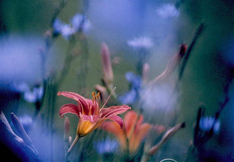 Day Lily, Canada