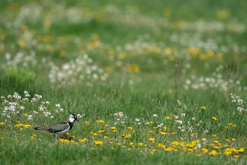czajka | norhern lapwing | vanellus vanellus