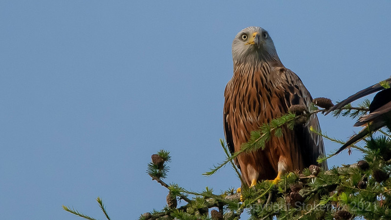 Red Kite in trees above 2nd Green