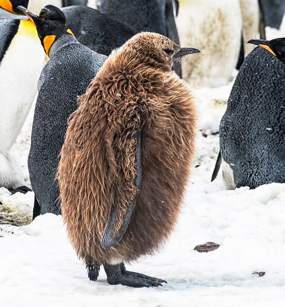 Penguins_King_Fortuna_South Georgia-16.jpg