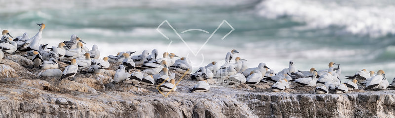 beautiful panorama showing bird nests packed on the cliffs with the ocean sea in the back, at the Murowai Australasian Gannet colony along the North Island
