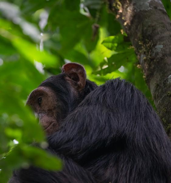 Uganda_T_Chimps-1674.jpg
