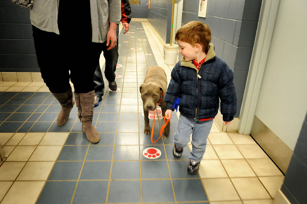 . Five-year-old Jack Adams walks his new dog, a Pit Bull/Terrier mix who will be named Apollo or Francis, with his mom Paula and father Steve Adams on February 8, 2013 at the IACC in Indianapolis. The family came to visit the dog while they waited for it to be cleared for adoption. (Pioneer Press: Sherri LaRose-Chiglo)