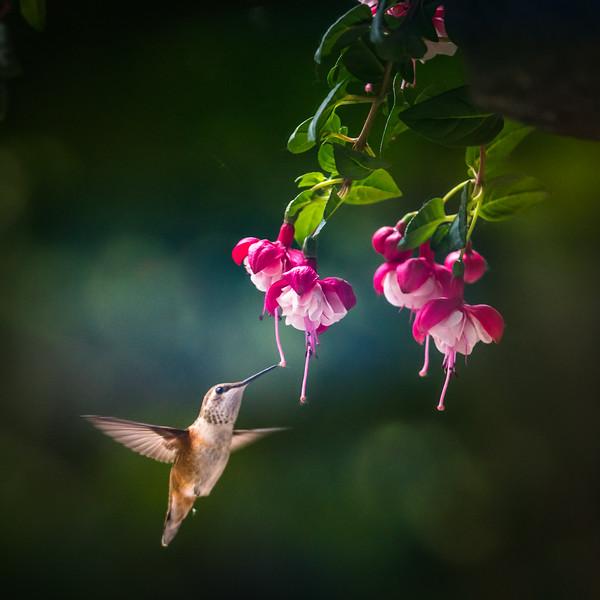 Hummingbird Brown