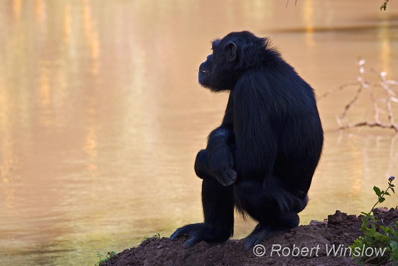 Primates - Chimpanzee