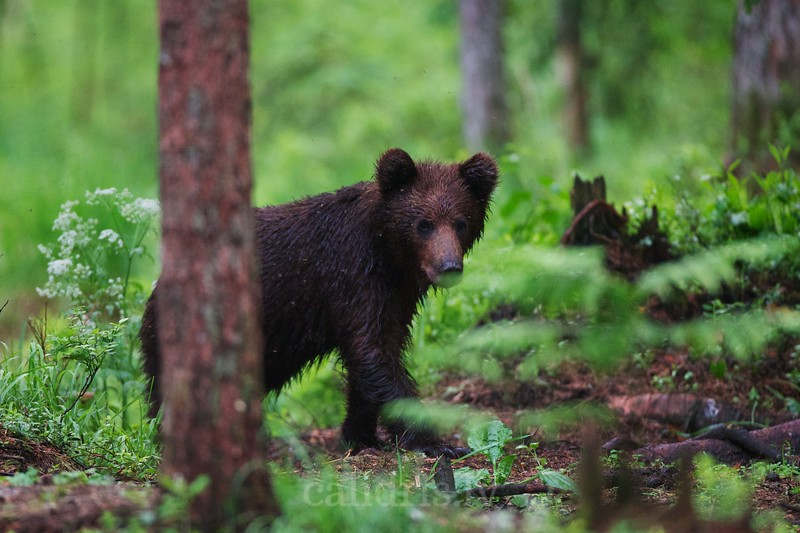 Young walks in a forest Brown Bear
