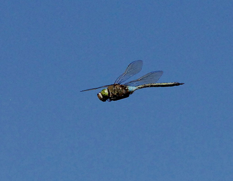 Emperor Dragonfly in flight, Camargue 2009 ak