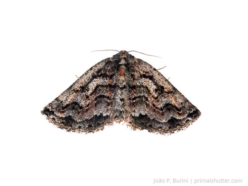 Unidentified moth (Lepidoptera) Atlantic forest (rock outcrop vegetation) Itatiaia National Park, Itamonte MG, Brazil March 2018
