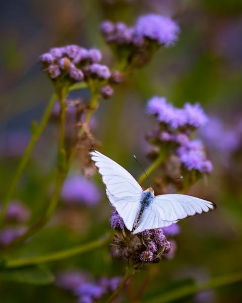 LS - Butterfly 1.jpg